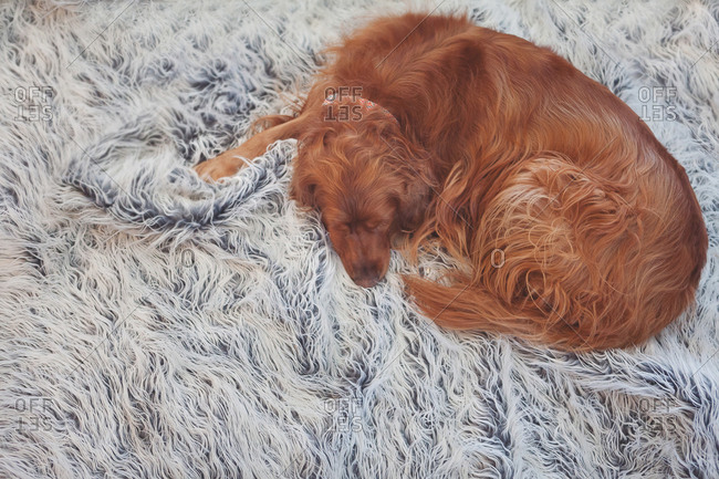 Dog laying on furry rug