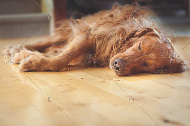 Dog asleep on floor in house