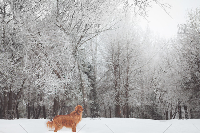 Dog standing in field near snowy woods