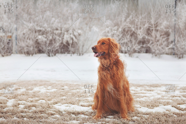 Dog sitting panting in snowy field