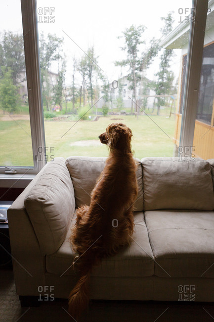 Dog sitting on couch in living room staring out window