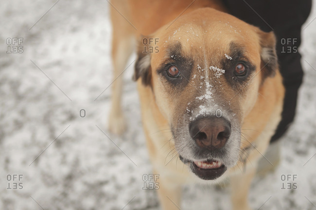 Friendly dog looking at camera in the snow