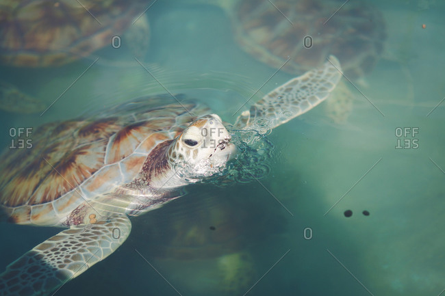 Sea turtle coming up for air