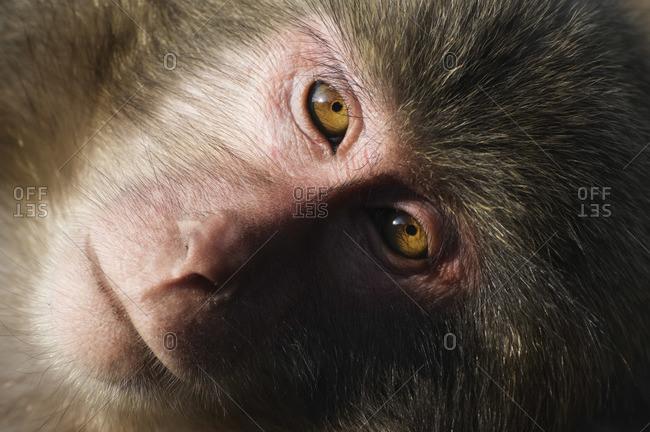 Close-up of Macaque, Yakushima, Kyushu, Japan