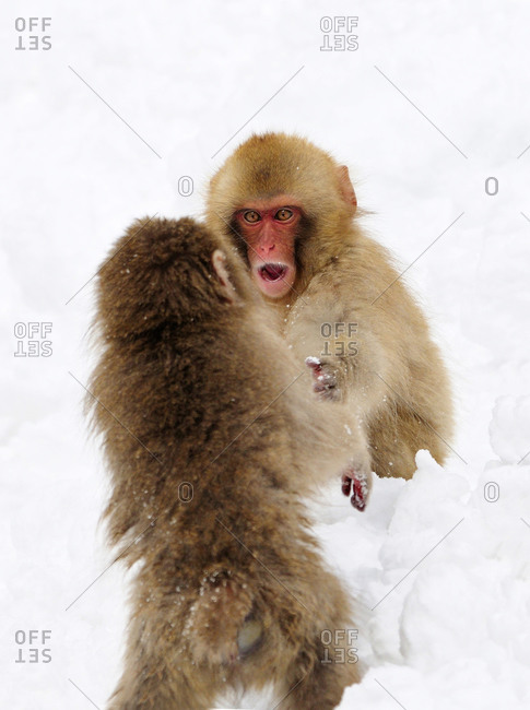 Two Snow Monkeys play fighting