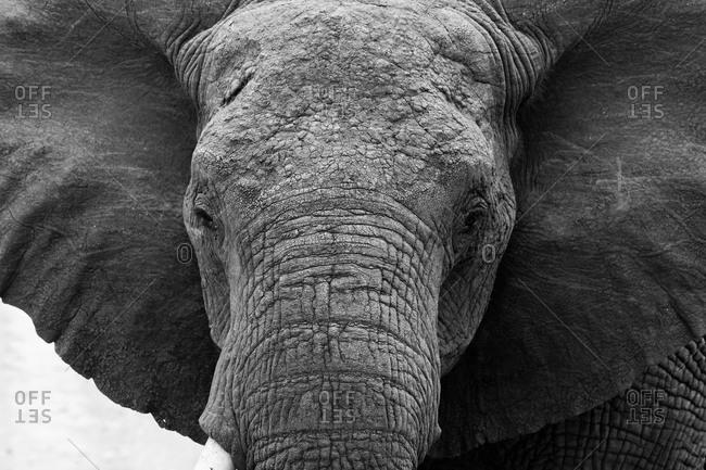 An African elephant in Tanzania