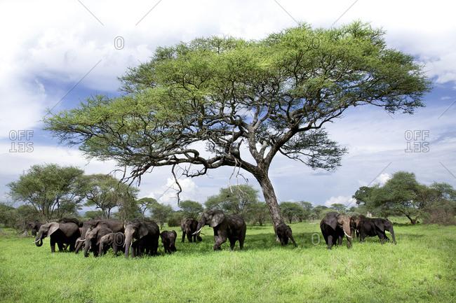 A family of elephants under a tree in Tanzania