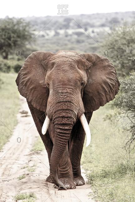 An elephant walking down a path in Tanzania