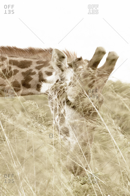 A giraffe with its head in the tall grasses of Tanzania