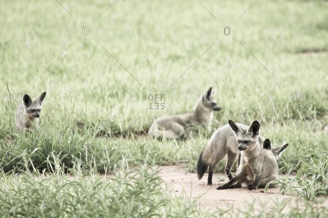 Bat-eared foxes in Tanzania