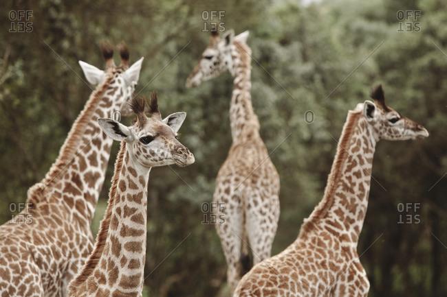 A group of giraffes in Tanzania