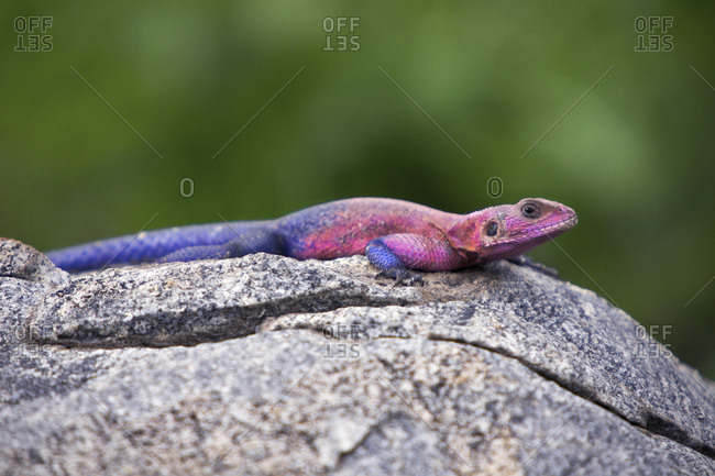A Mwanza flat-headed rock agama lizard in Tanzania
