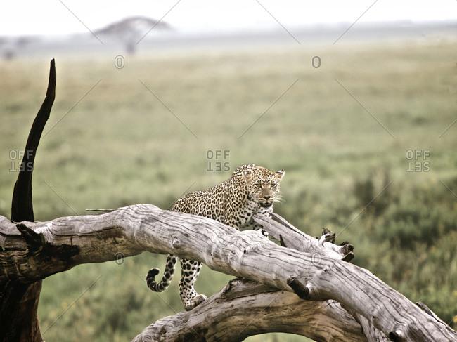 A leopard climbing a tree branch in Tanzania