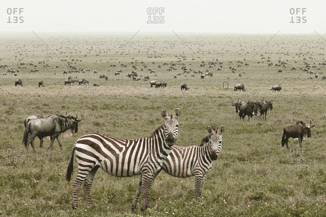 Animals migrating across the Tanzanian grasslands
