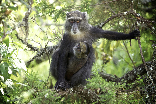 A blue monkey and its baby in a forest in Tanzania