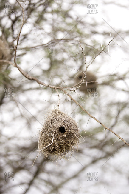 Bird nests in a tree in Tanzania