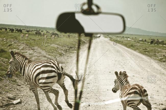 Zebra crossing a dirt road in Tanzania