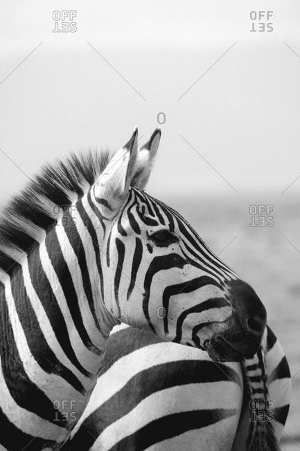 Two zebras in Tanzania