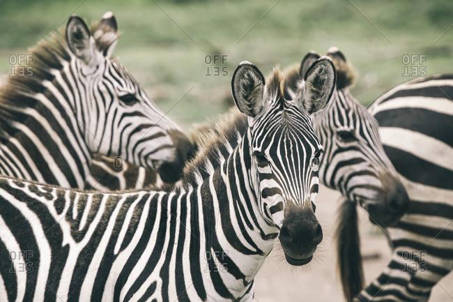 A herd of zebras in Tanzania