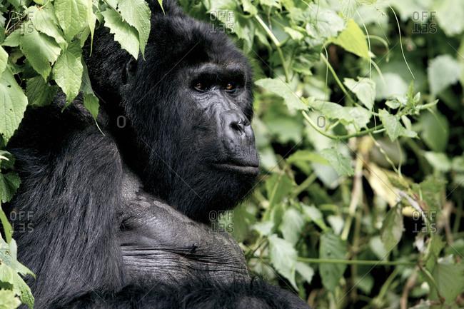 An eastern gorilla sitting in foliage in Tanzania