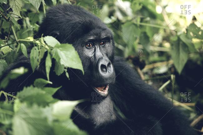 An eastern gorilla looking shocked in Tanzania
