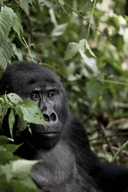 An eastern gorilla in Tanzania