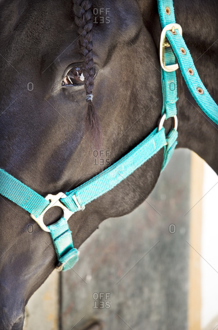 Close up of horse's head with bridle