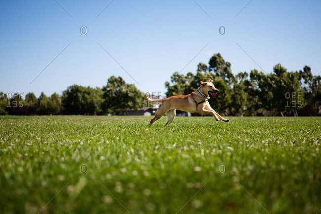 A dog runs with a ball in its mouth