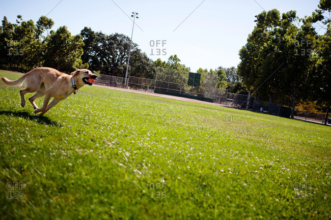 A dog bounds through a park with a ball in its mouth