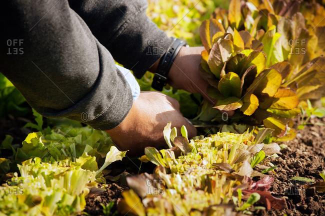 A farmhand cuts baby greens from its stalks