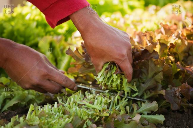 A man harvests baby salad greens