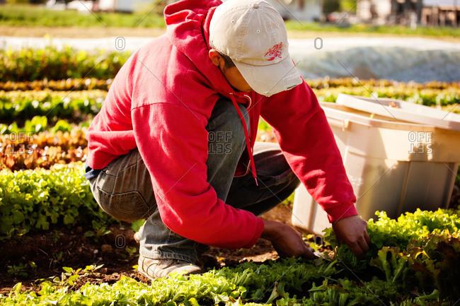 A man picks microgreens