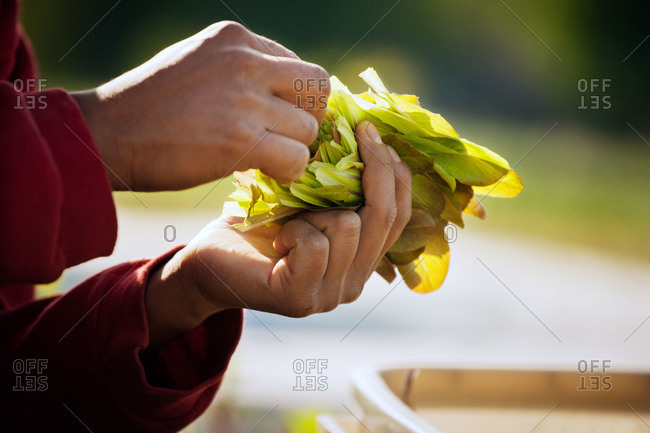 A farmhand inspects the lettuce he harvested