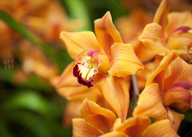 Vibrant orange orchids - Offset Collection