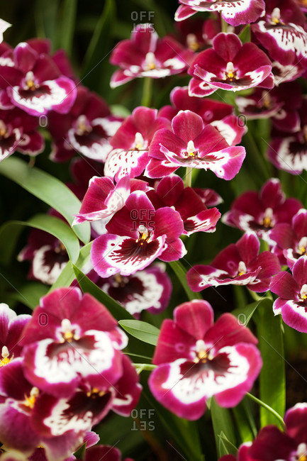 Crimson and white orchids - Offset