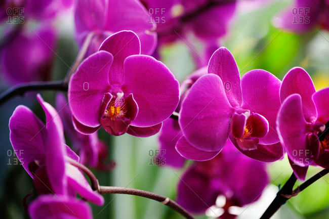 Bright purple orchids on a branch