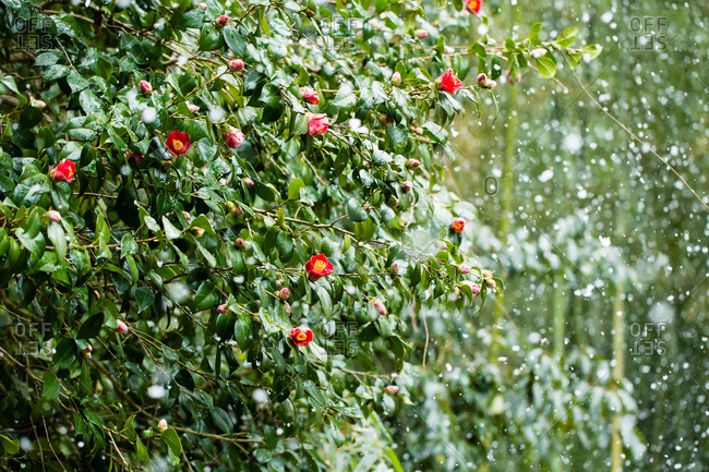 A flowering bush in the rain
