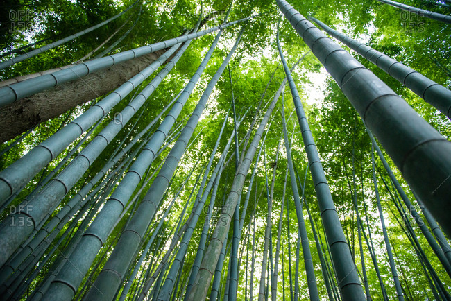 Upward view in a bamboo forest