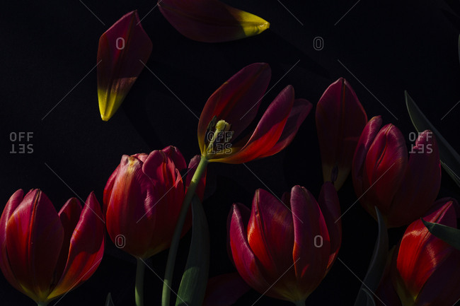 Studio shot of red tulips