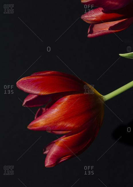 Studio shot of red tulips in bloom