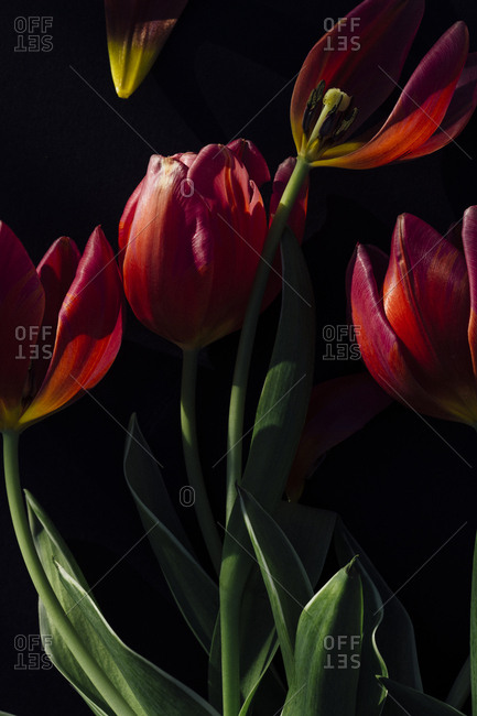 Blossoming red tulips