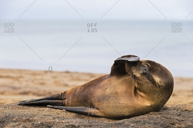 Young sea lion with fin on his snout