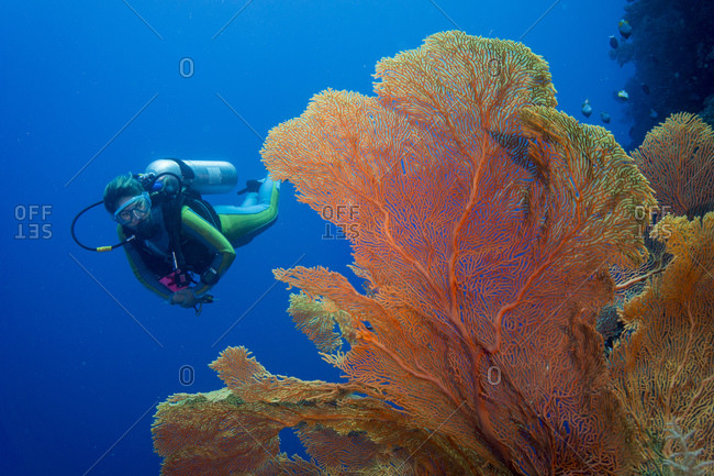 Scuba diver in coral reef with giant fan coral