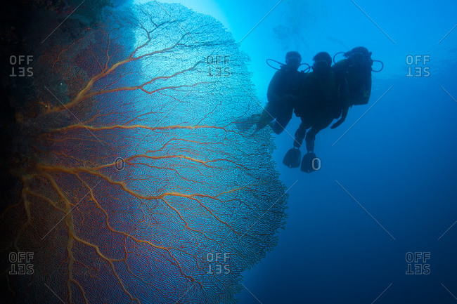 Scuba divers in coral reef with giant fan coral