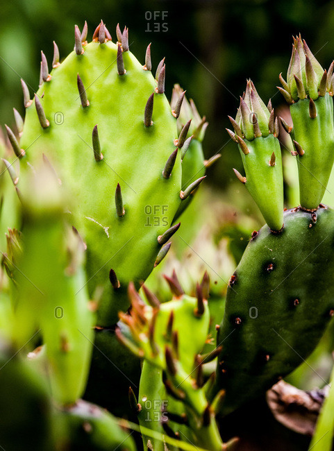 Close up of prickly pears