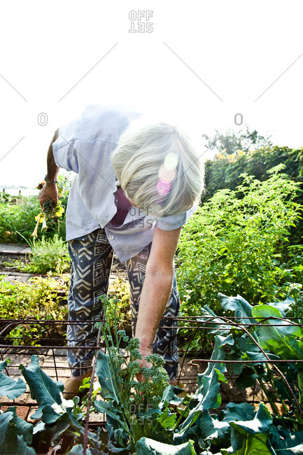 Piermont, NY, USA - August 6, 2010: Joan Gussow gardening in her front yard