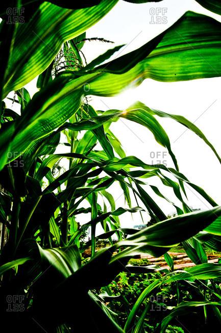 Corn crops in a garden