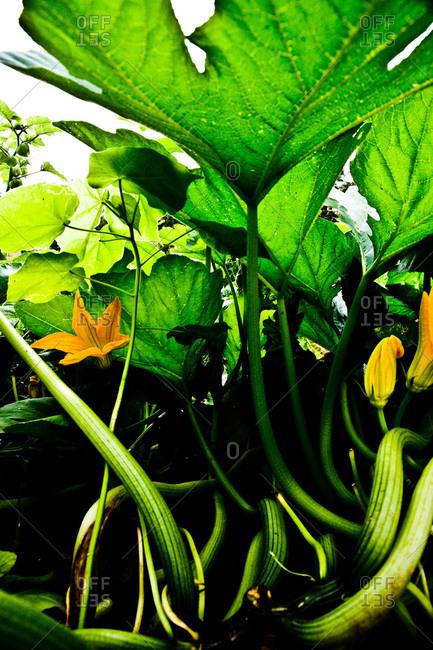 Zucchini flowers in a garden