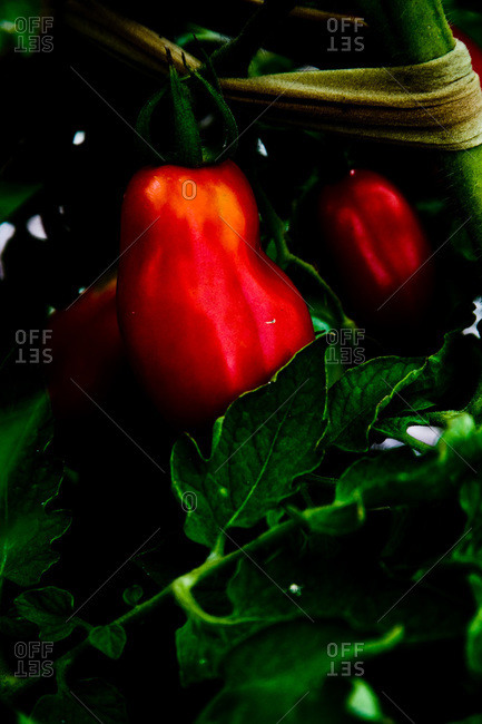Close up of ripe tomatoes in a garden