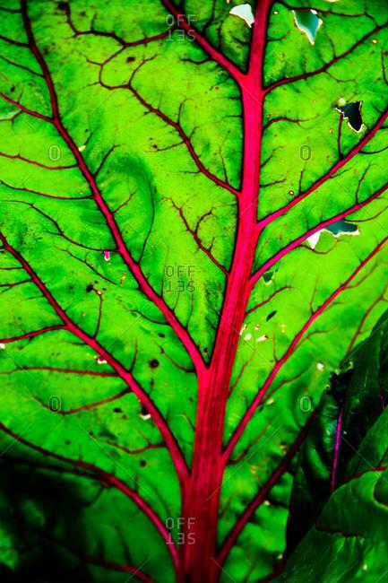 Close up of a chard leaf